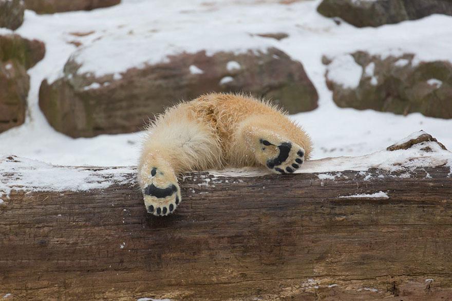 cute-baby-polar-bear-day-photography-18__880