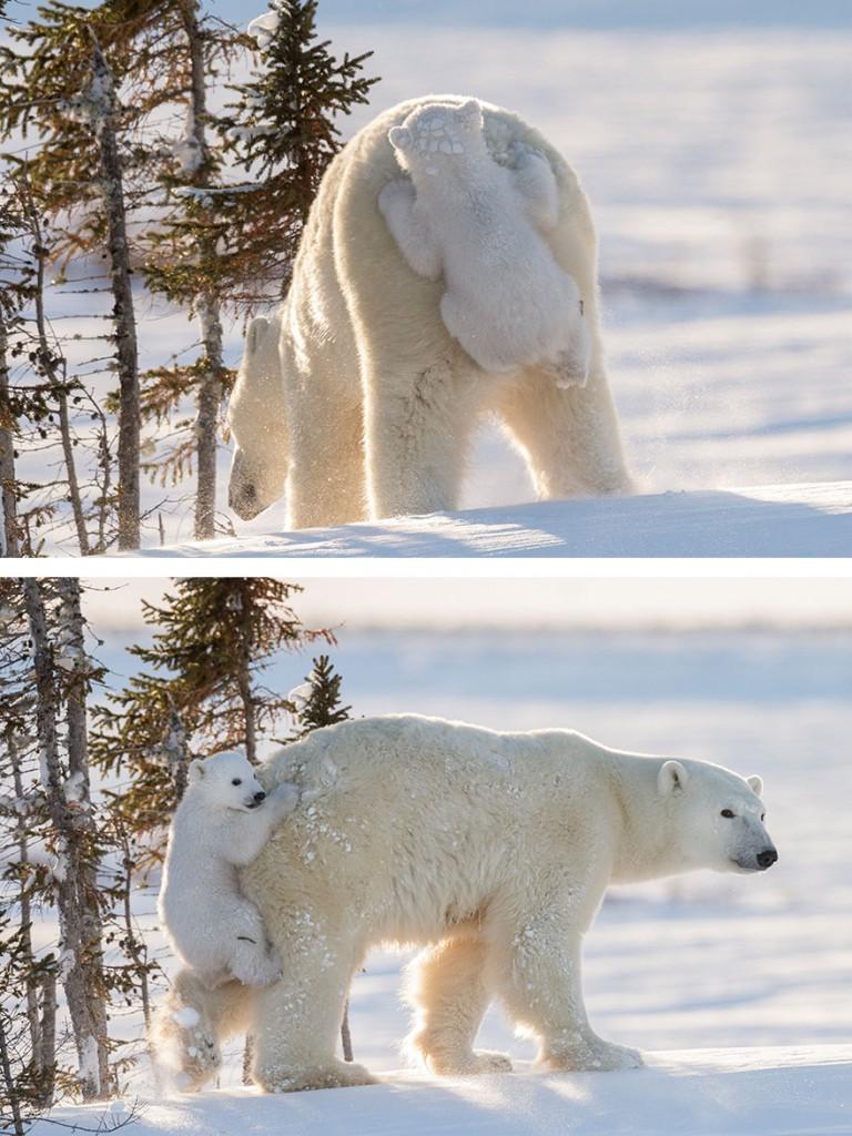 cute-baby-polar-bear-day-photography-23__880 (1)