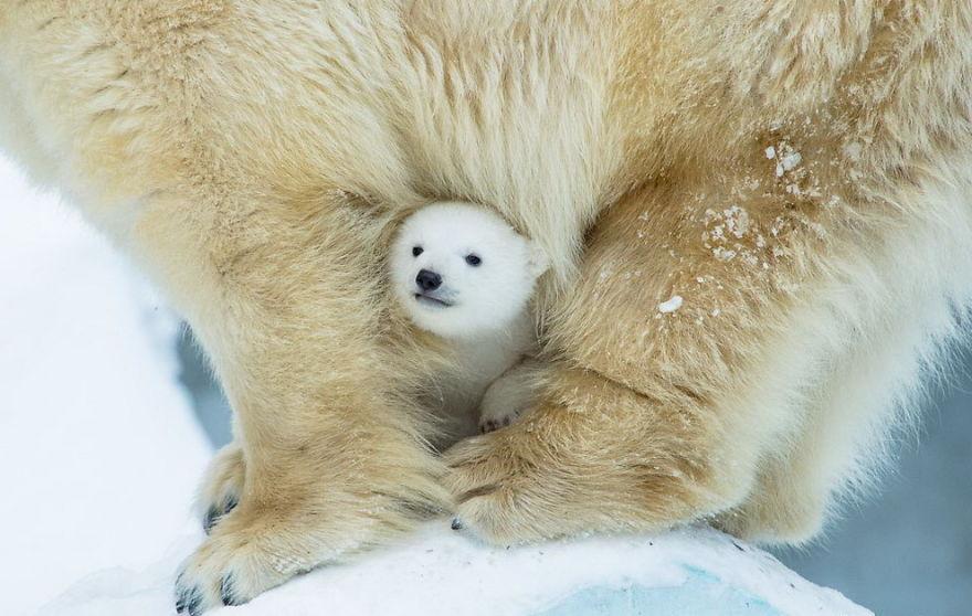 cute-baby-polar-bear-day-photography-53__880